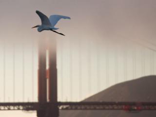 An Egret Flys By The Golden Gate Bridge
