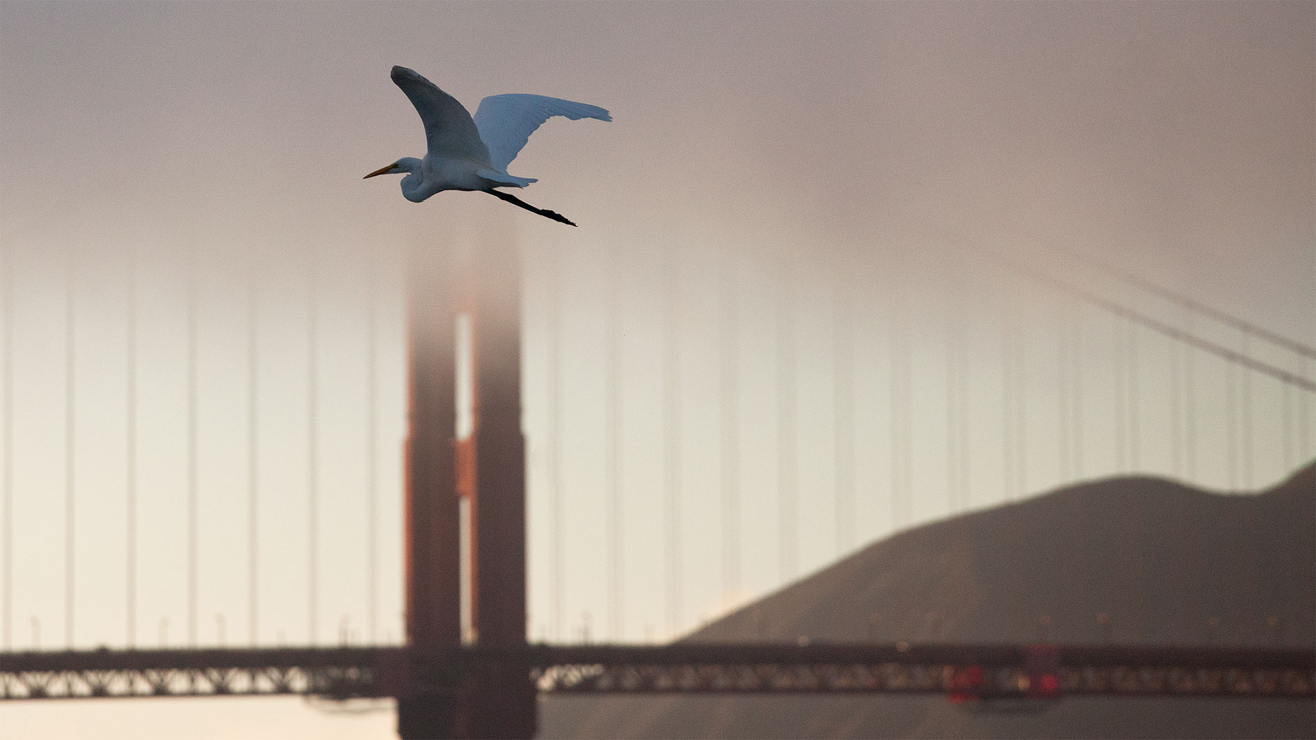 An Egret Flys By The Golden Gate Bridge